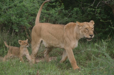 Seeing a Lioness without the safety of the jeep, that would put me in threat physiology for a good reason!